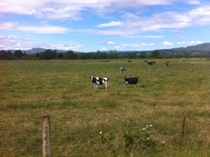 cow alone